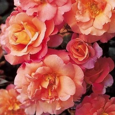 BARE ROOT Sunrise Climbing Rose - Fragrant Climbing Climber Rose Rosa