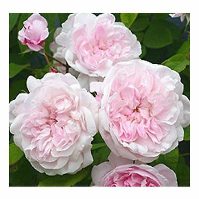 BARE ROOT Fantin Latour Old English Rose - Scented Pink Flower Rosa