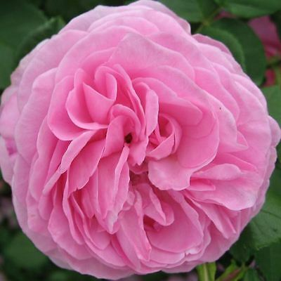 BARE ROOT Louise Odier Old English Rose - Fragrant Old Interesting Rose