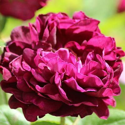 BARE ROOT Tuscany Superb Old English Rose - Scented Purple Rosa Bush