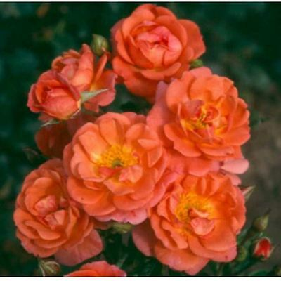 Beautiful Sunrise Miniature Patio Climbing Climber Rose - BARE ROOT Rose