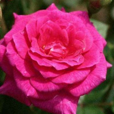 BARE ROOT Gloriana Miniature Climbing Rose - Miniature Patio Climbing Rose