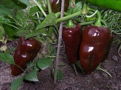 SWEET CHOCOLATE CAPSICUM - 20 Seeds