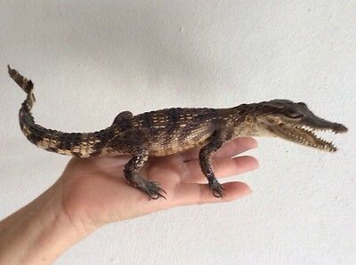 100% Genuine real crocodile 30cm stuffed taxidermy.
