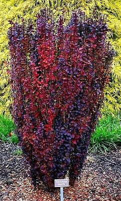 Berberis thunbergii (Barberry) 'Helmond Pillar' x 1 plant.