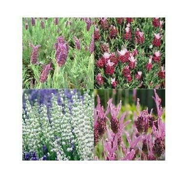 Head Growers choice Lavender Plants 6 x Plug Plants Mixed Collection