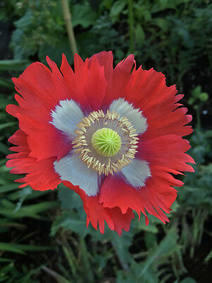 500 Seeds - Swiss / Danish Flag Poppy - Papaver somniferum