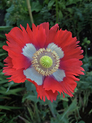 5000 Seeds - Danish Flag Poppy - Papaver somniferum