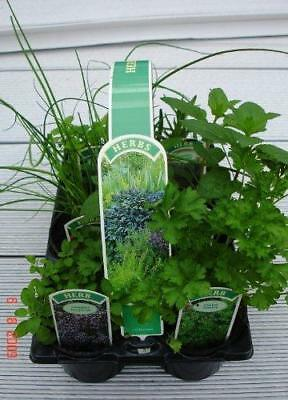 6 Pack of 9cm Mixed Herb  Plants, Parsley Sage, Rosemary  Thyme  Mint and Chives