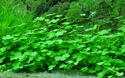 Hydrocotyle tripartita Japan