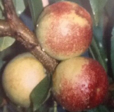4ft - 5ft bare rooted lord napier nectarine Fruit Tree 2 Year old
