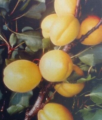 4ft - 5ft bare rooted apricot early moorpark Fruit Tree 2 Year old