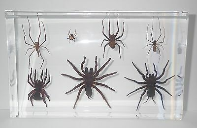 Insect Collection Set - 7 Spider Specimen (in clear large Lucite block)
