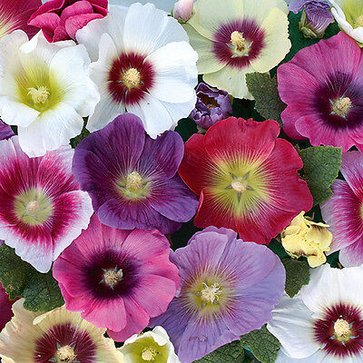 Pack Flower Seeds Hollyhock 'Halo' Mixed Kings Quality Garden Seeds