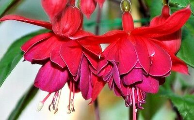 """Fuchsia """"Jam Roll"""" x 1 plant.  Large double flowers. Bright red colour."""