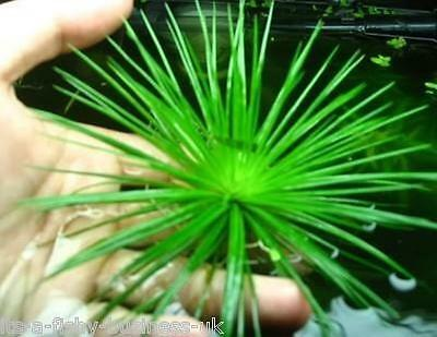 Eriocaulon Cinereum Very Rare Live Aquarium Plant Shrimp Safe