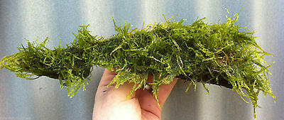 JAVA Moss on Bog wood * Taxiphyllum barbier * Live Plants