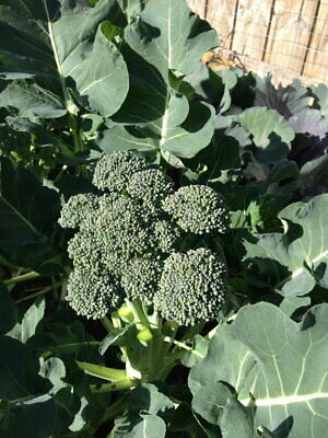 Broccoli- Green Sprouting Calabrese, 95 seeds (Brassica oleracea var. italica) |