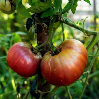 Tomato- Black Russian, 50 seeds (Lycopersicon esculentum) | TSCseeds