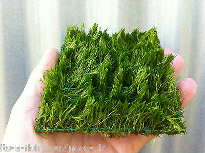 Riccia Fluitans Pad 10x10 cm Crystalwort Tropical Aquarium Plant UK shripm Safe