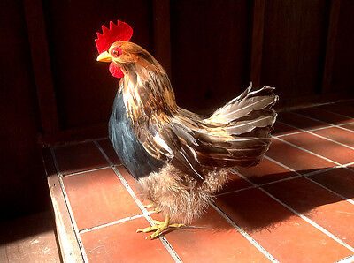 REALISTIC Brown CHICKEN Hen REPLICA Prop Large Sz. Figurine 6t FREE SHIPPING USA