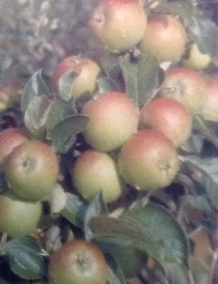 4ft - 5ft bare rooted Coxs Self-Fertile Apple Fruit Tree 2 year old