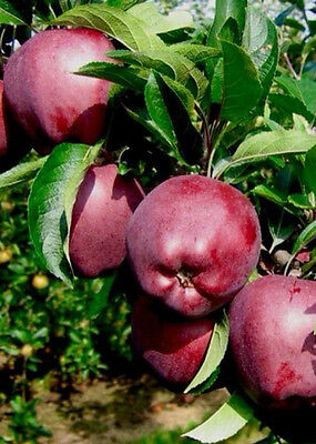 4ft - 5ft bare rooted red spur delicious Apple Fruit Tree 2 year old