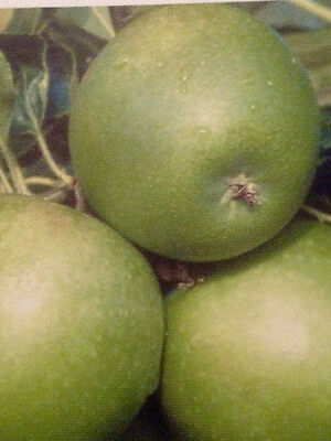 4ft - 5ft bare rooted Granny Smith Apple Fruit Tree 2 year old