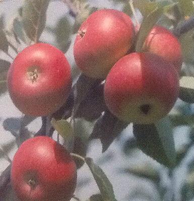 4ft - 5ft bare rooted Discovery Apple Fruit Tree 2 year old