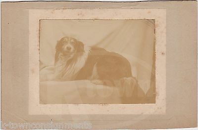 Handsome Collie Dog Groomed & Posed Fine Antique Photograph