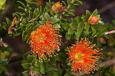 Eremaea beaufortioides x 25 seeds. Orange flowers, compact shrub