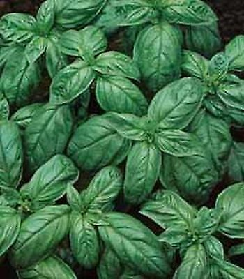 Premier Seeds Direct ORG046 Basil Genovese Organic Seeds (Pack of 2000)