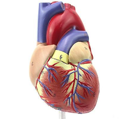 Anatomical Human Life Size Heart Model - Medical Cardiovascular Anatomy) M3