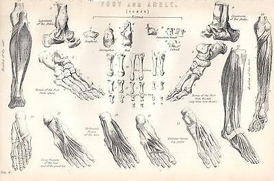 1880 Print ~ Human Anatomy ~ Foot And Ankle ~Bones Muscles Phalanges Of Toes Etc