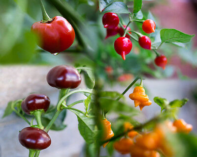 Rare Peppers 100 Seeds Mix Pack, Peppadew/Biquinho/Rainforest/Chocolate OFFER!