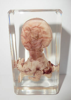 Learning Specimen (small) - Common Octopus (Octopus vulgaris) in Clear Block