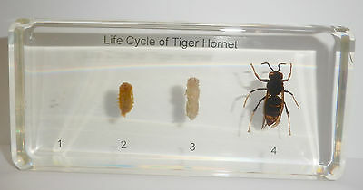 Tropical Tiger Hornet Life Cycle Set Vespa tropica Insect Specimen Education Aid