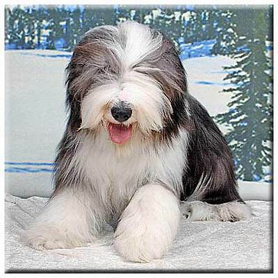 "Bearded Collie 4"" Tile"