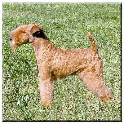 "Lakeland Terrier 4"" Decorative, Cork Backed, Ceramic Tile"
