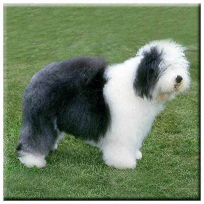 "Old English Sheepdog 4"" Tile"