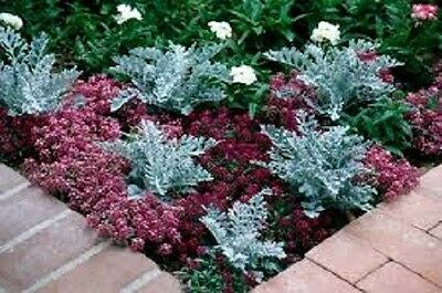 """Senecio """"Silver Dust"""" (Dusty Miller) x 25 seeds.Drought Tolerant Gifts in store"""