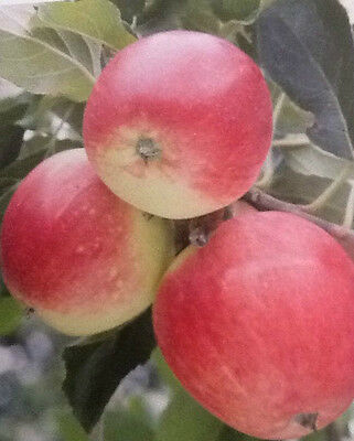 4ft - 5ft bare rooted katy Apple Fruit Tree 2 year old