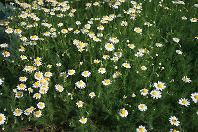 Chamomile Herb Plants in 9cm and 13cm Pots
