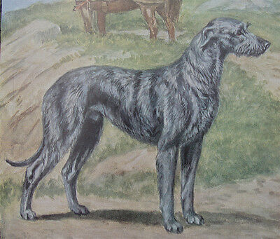 Scottish Deerhound Print 1958 Dog