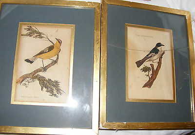 Pair Antique John Maggs Hand Coloured Engravings Birds Flycatchers Printed 1750