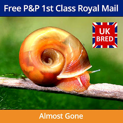 Red Ramshorn Snails - Aquarium Cleaners, Algae Eaters, Pond, Fresh or Tropical
