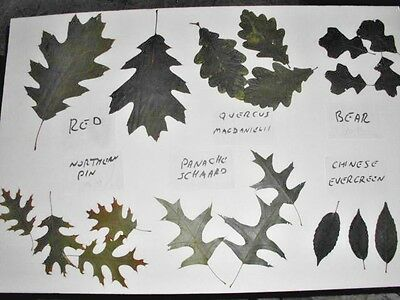 BOTANICAL OAK LEAF SPECIMENS - nice for nature museum or school display