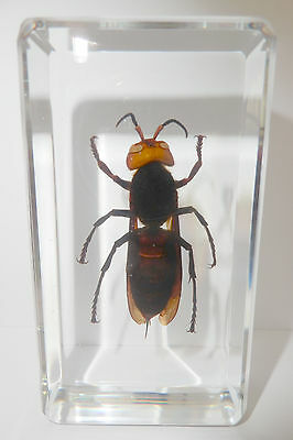 Asian Giant Tiger Hornet Vespa Mandarinia Clear Education Real Insect Specimen