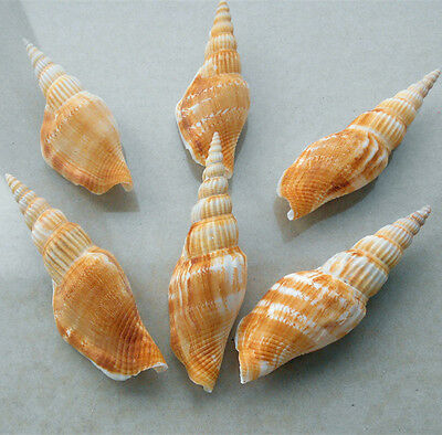 100% Natural Beautiful top rare real sea Shell Conch ZZZD021