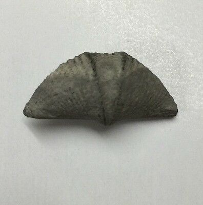 Fossil Devonian Brachiopod From Ontario, Canada. Canadian Fossil.